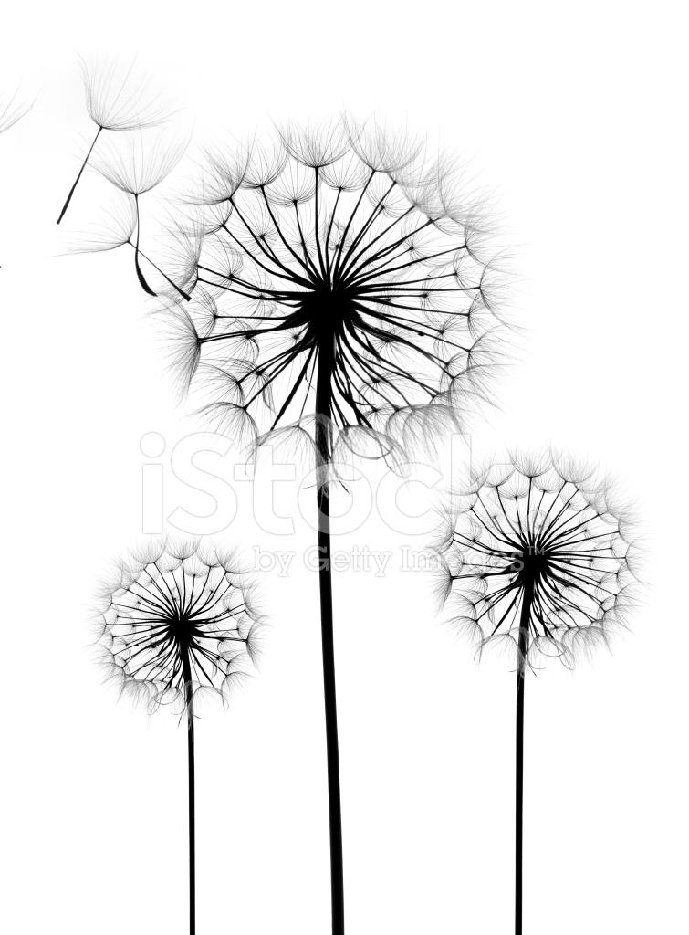 755x1024 Dandelion Flower On A White Background Stock Photos