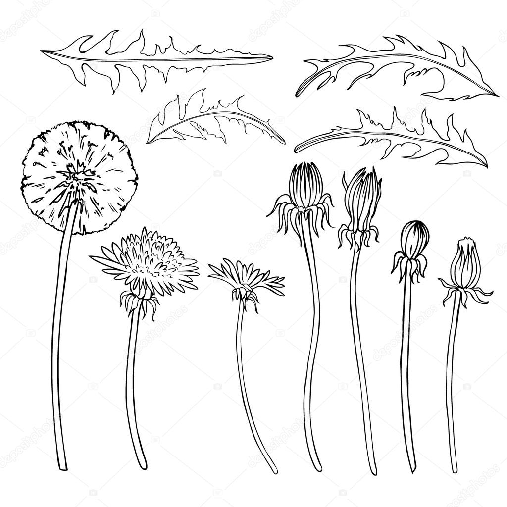 1024x1024 Dandelion Flower, Bud, Leaves Vector Engraving Botanical Sketch