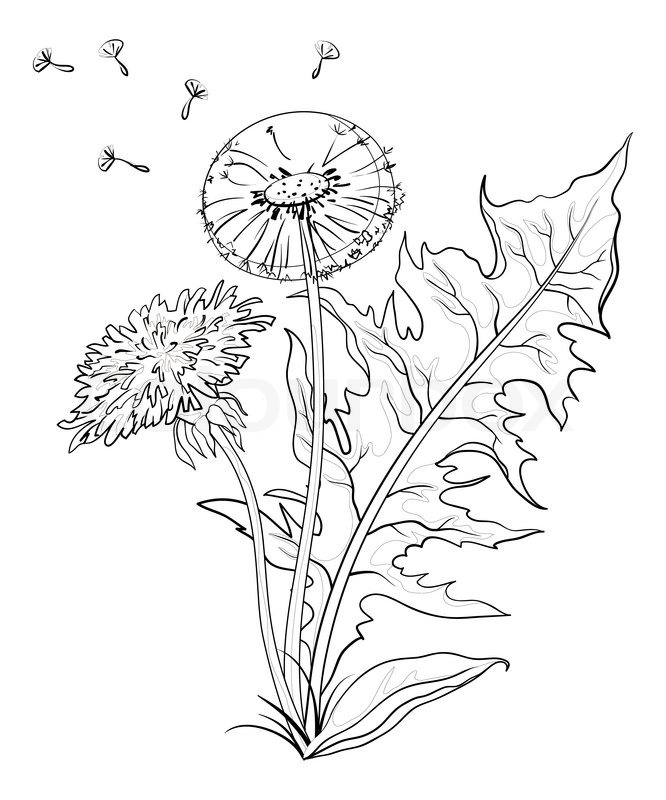 666x800 Flowers Dandelions With Leaves And Seeds, Contours Stock Photo