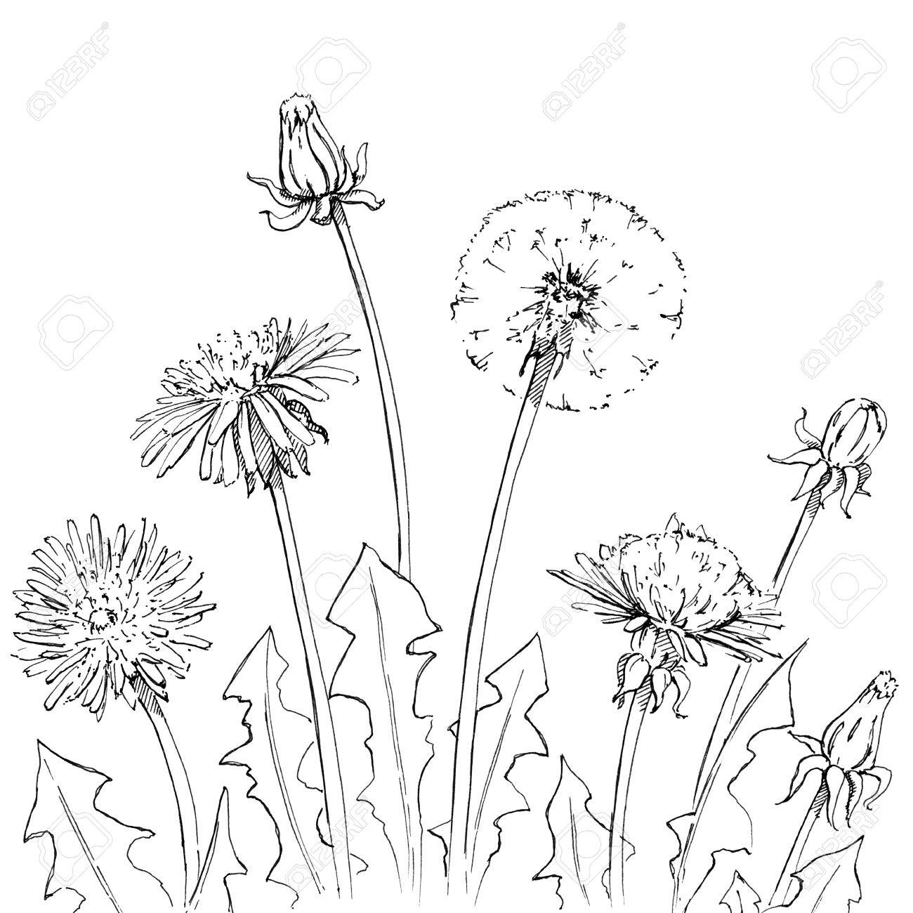 1300x1300 Hand Drawn Graphic Flowers Dandelion On White Background Stock