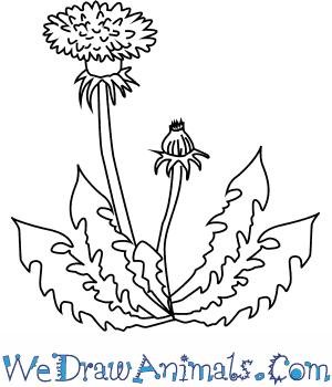 300x350 How To Draw A Dandelion Flower