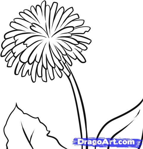 481x502 How To Draw A Dandelion ) Dandelion Dandelions