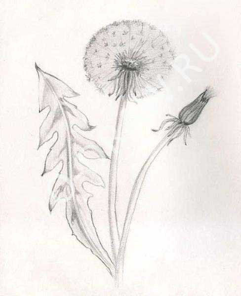 488x600 How To Draw A Pencil Dandelion Stages