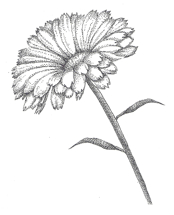 567x700 Pointillism Drawings Fine Art America