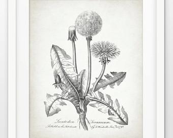 340x270 Vintage Dandelion Drawing Etsy