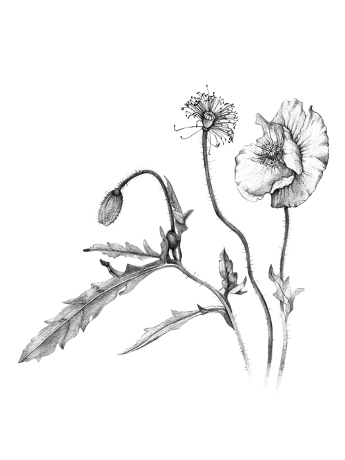 500x667 Botanical Illustration Talya Baldwin Illustration