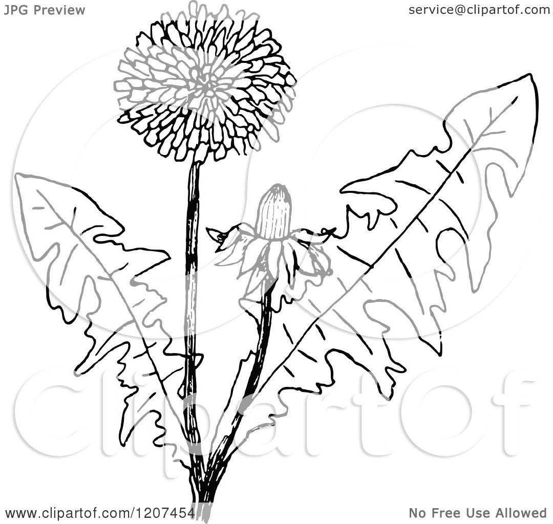 1080x1024 Clipart Of A Vintage Black And White Dandelion Plant