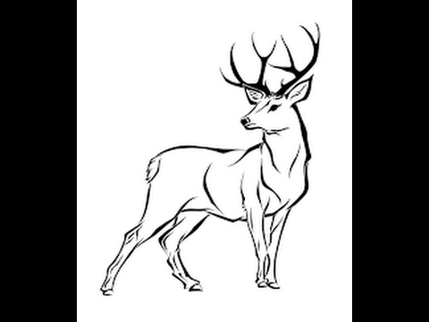 480x360 How To Draw White Tailed Deer Full Body Drawing In Steps