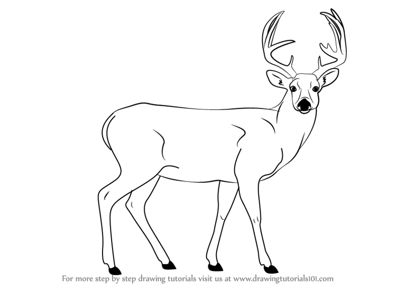 800x566 Learn How To Draw A Buck Deer (Wild Animals) Step By Step