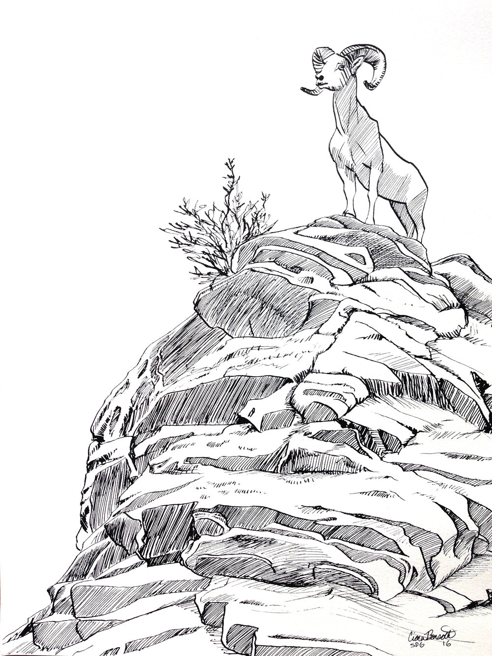1000x1332 Mountain Goat Ink Drawing By Ciara Barsotti
