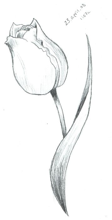357x703 Tulip Sketch By Scarletrainxx On Passion