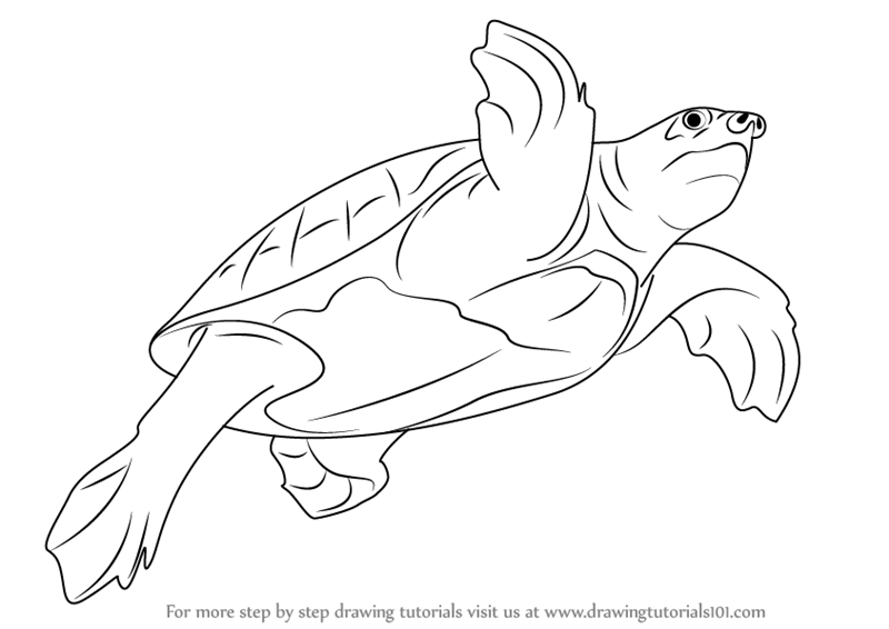 800x566 Learn How To Draw A Pig Nosed Turtle (Turtles And Tortoises) Step