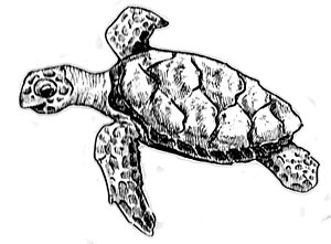 300x221 Black And White Turtle Drawings Fine Art America