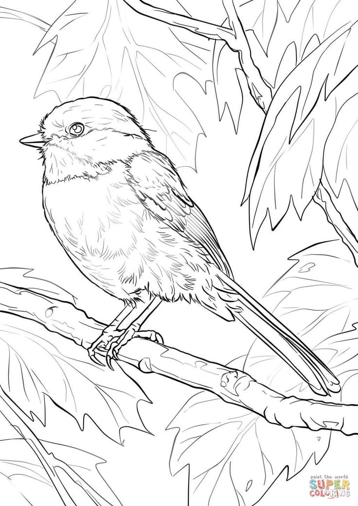 736x1039 Black Capped Chickadee Coloring Page Free Printable