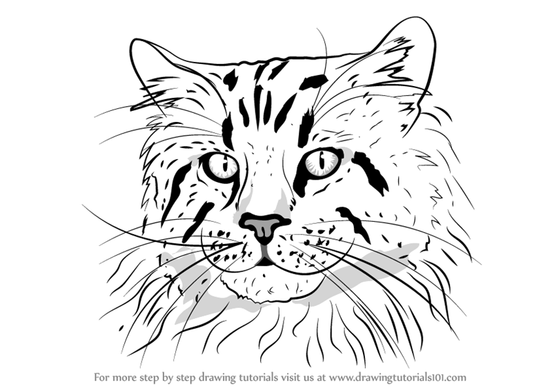 800x566 Learn How To Draw A Maine Coon Face (Cats) Step By Step Drawing