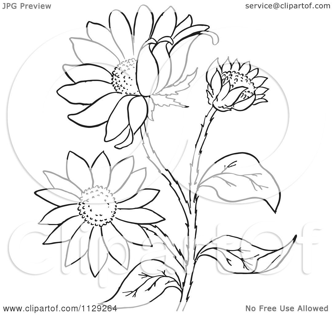 1080x1024 Cartoon Clipart Of An Outlined Black Eyed Susan Flower Plant
