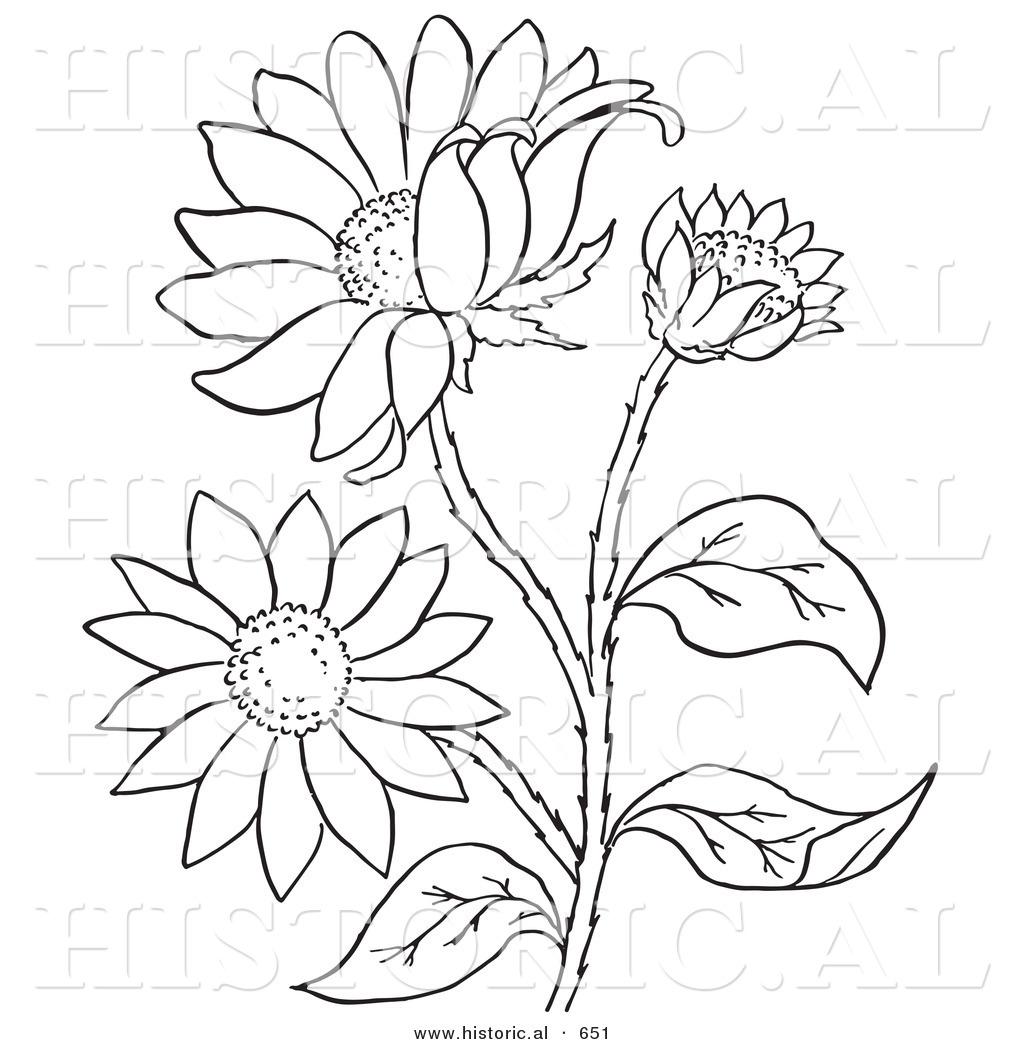 1024x1044 Historical Vector Illustration Of A Black Eyed Susan Flowers