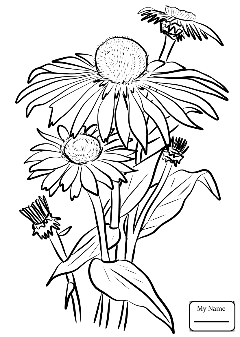 Black Eyed Susan Drawing at GetDrawings
