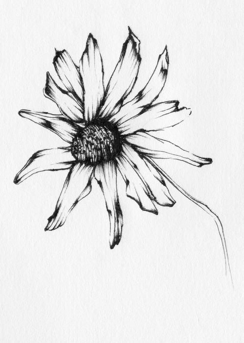 499x700 Black Eyed Susan Drawing By Christopher Lem