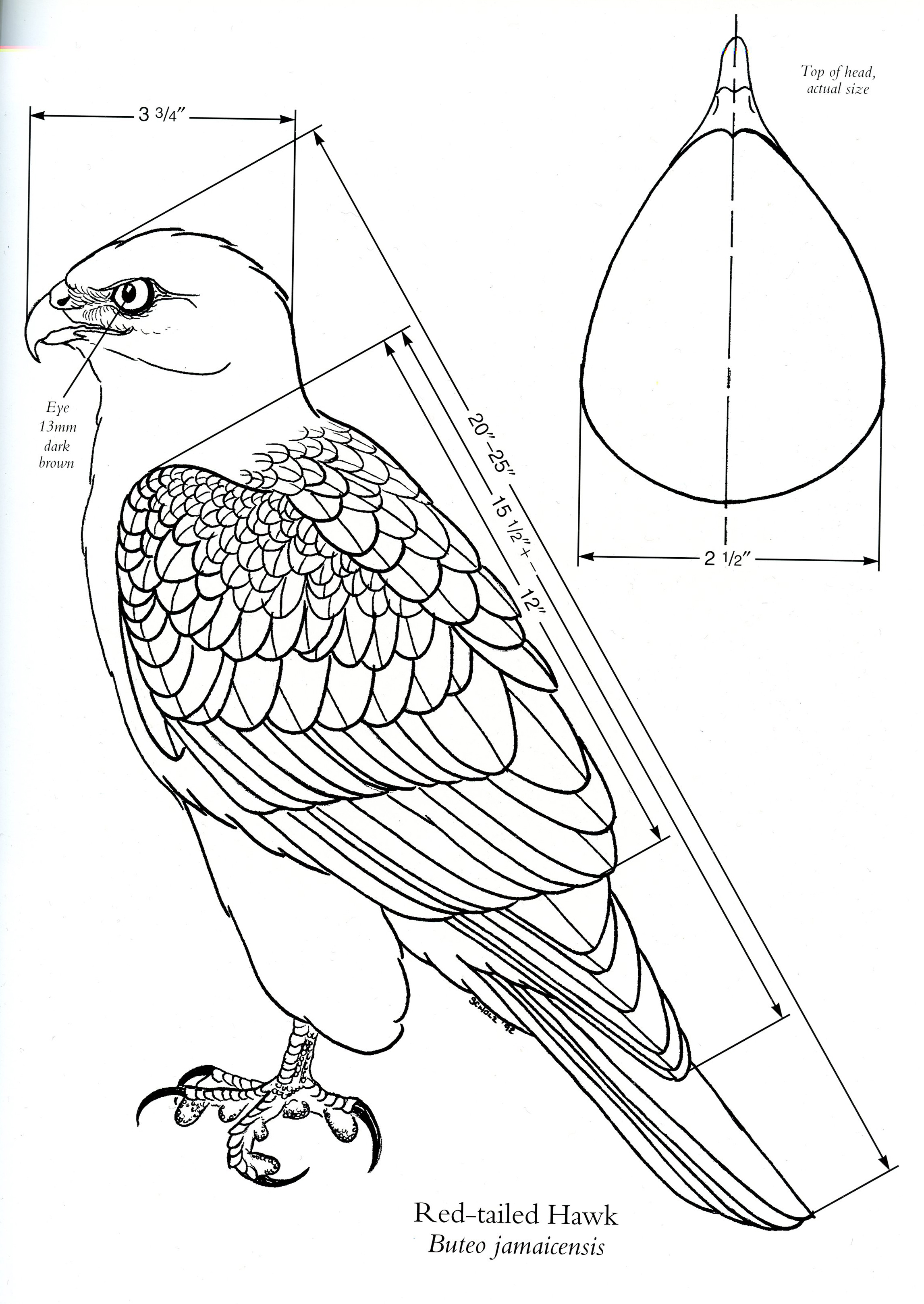 2293x3234 Diagram Of A Red Tailed Hawk [Source Birds Of Prey By Floyd