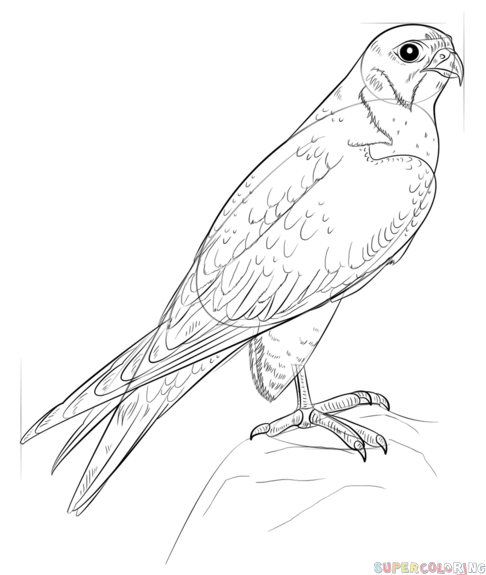 486x575 How To Draw A Peregrine Falcon Step By Step Drawing Tutorials