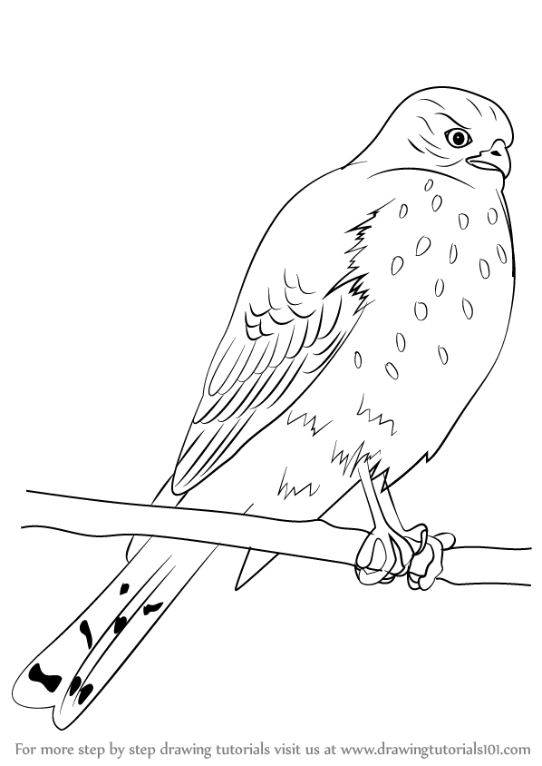 598x844 Learn How To Draw A Sharp Shinned Hawk (Bird Of Prey) Step By Step