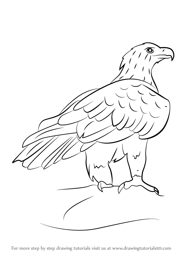 596x842 Learn How To Draw A Wedge Tailed Eagle (Bird Of Prey) Step By Step