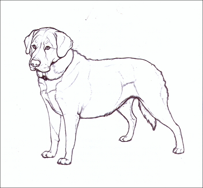 702x653 Drawing Labradors How To Draw Labradors