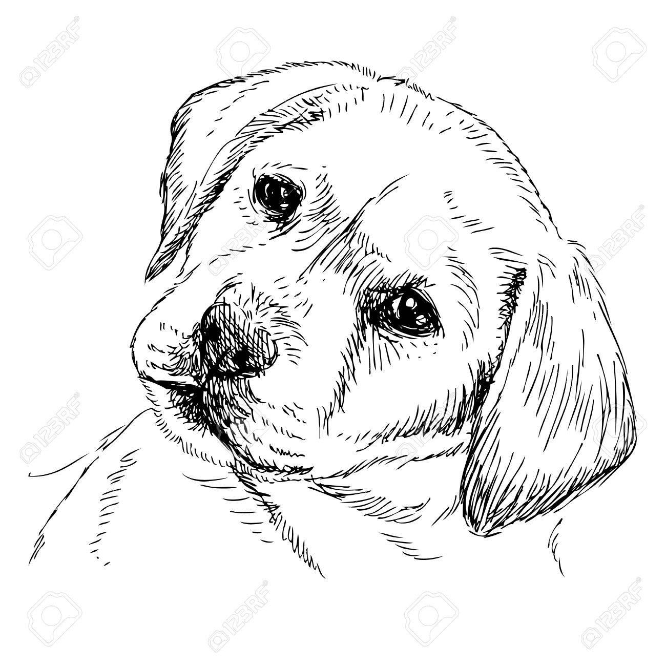 1300x1300 Image Of Labrador Retriever Puppy Hand Drawn Vector Royalty Free