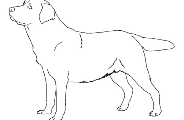 640x420 Labrador Retriever Coloring Pages Retriever Coloring Page Dog