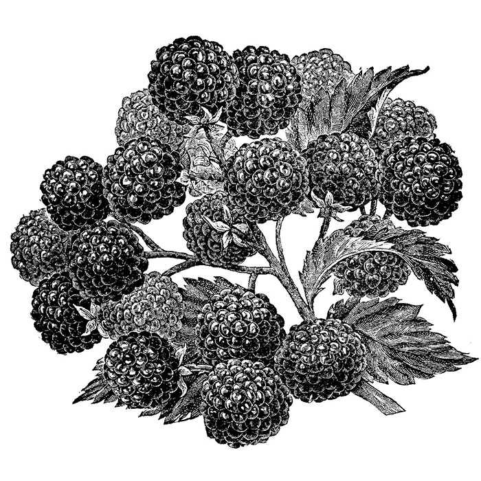 700x700 Chester Thornfree Blackberry Rh Shumway