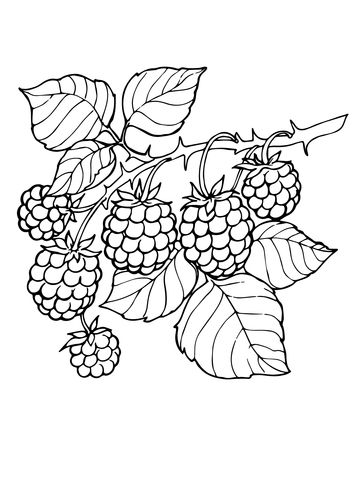 360x480 Blackberry Branch Coloring Page From Blackberry Category. Select