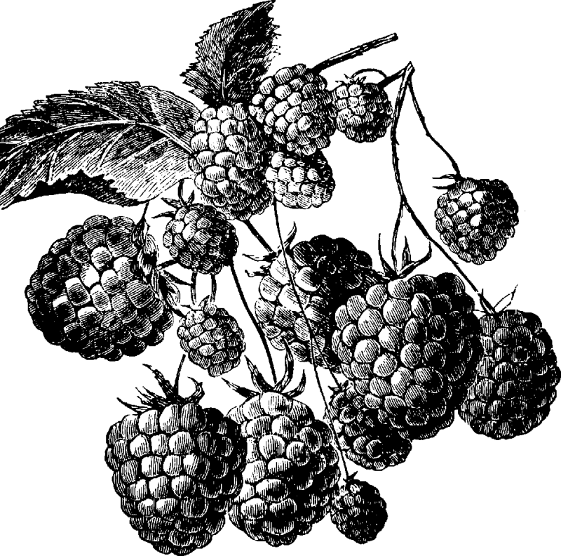 Blackberry Fruit Drawing