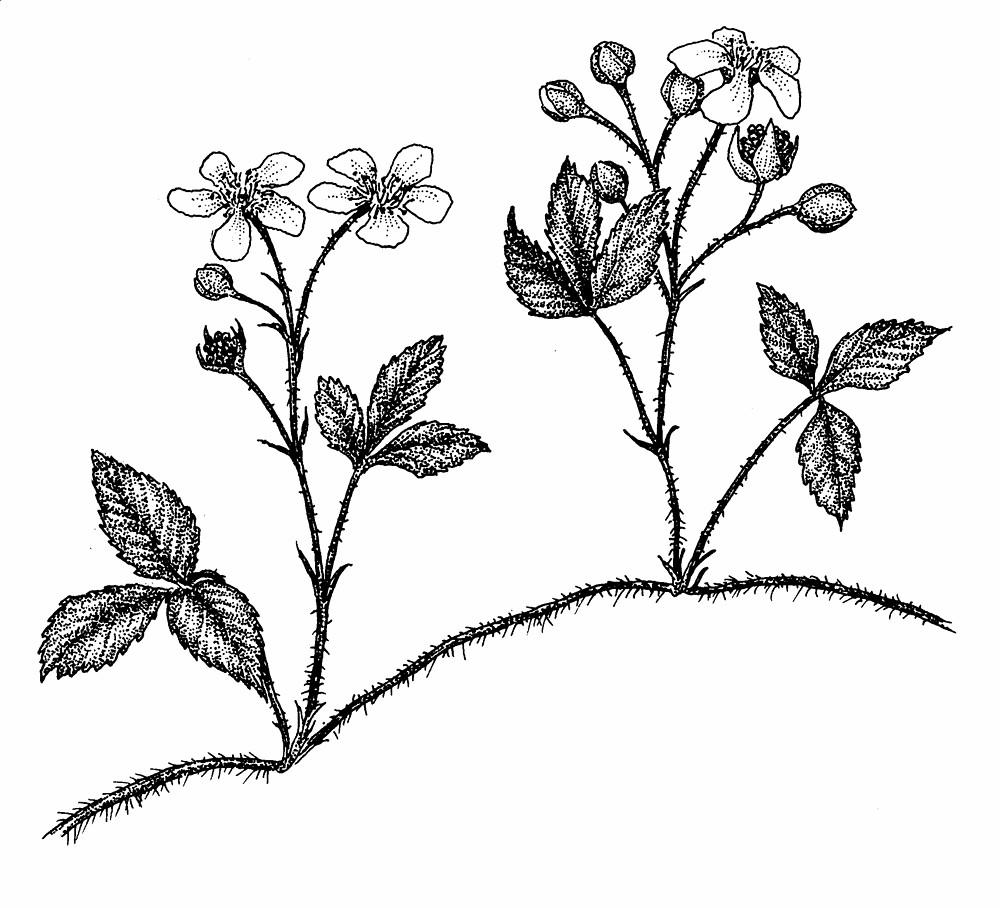 1000x908 Rubus Hispidus (Bristly Blackberry, Swamp Dewberry) Go Botany