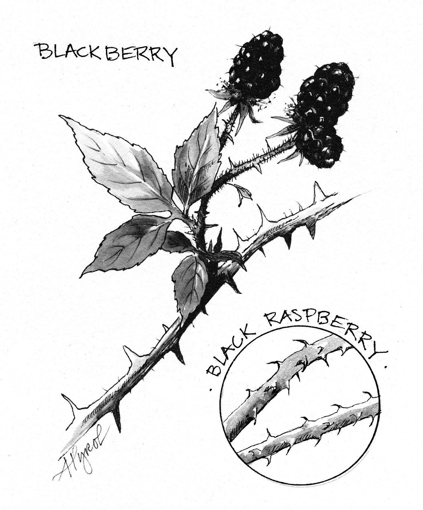 1483x1788 Wild Blackberry Season In The Adirondacks