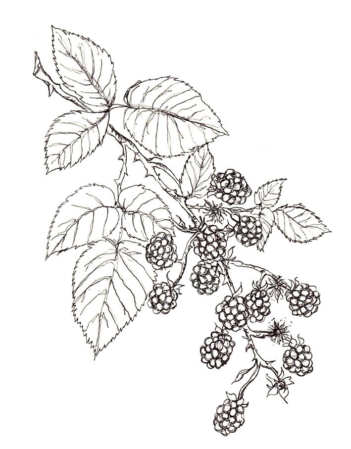 709x907 Blackberries (Own Sketch) Pflanzen Blackberry