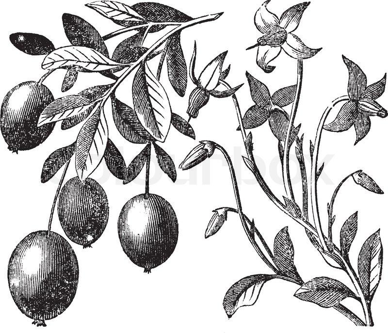 800x687 Blackberry Flower, Blackberry Fruit, Vintage Engraving Stock