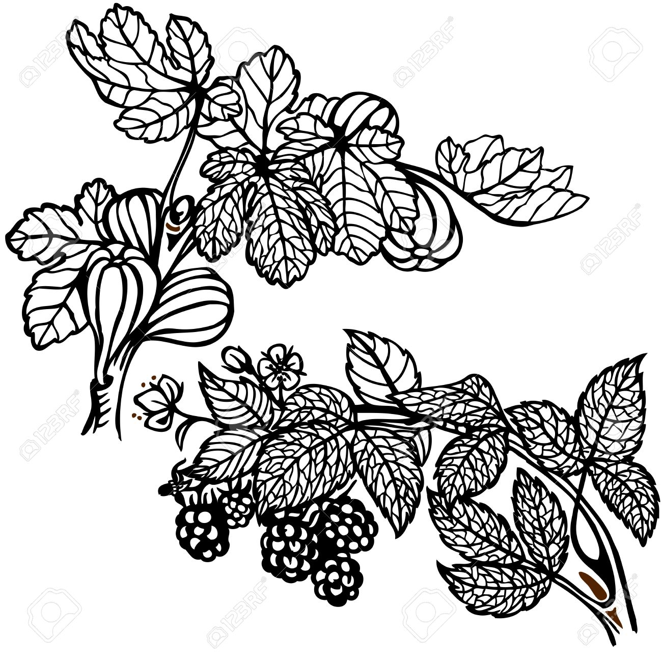 1300x1300 Branch Of Blackberries And Figs Branch. Drawing. Vintage. Royalty