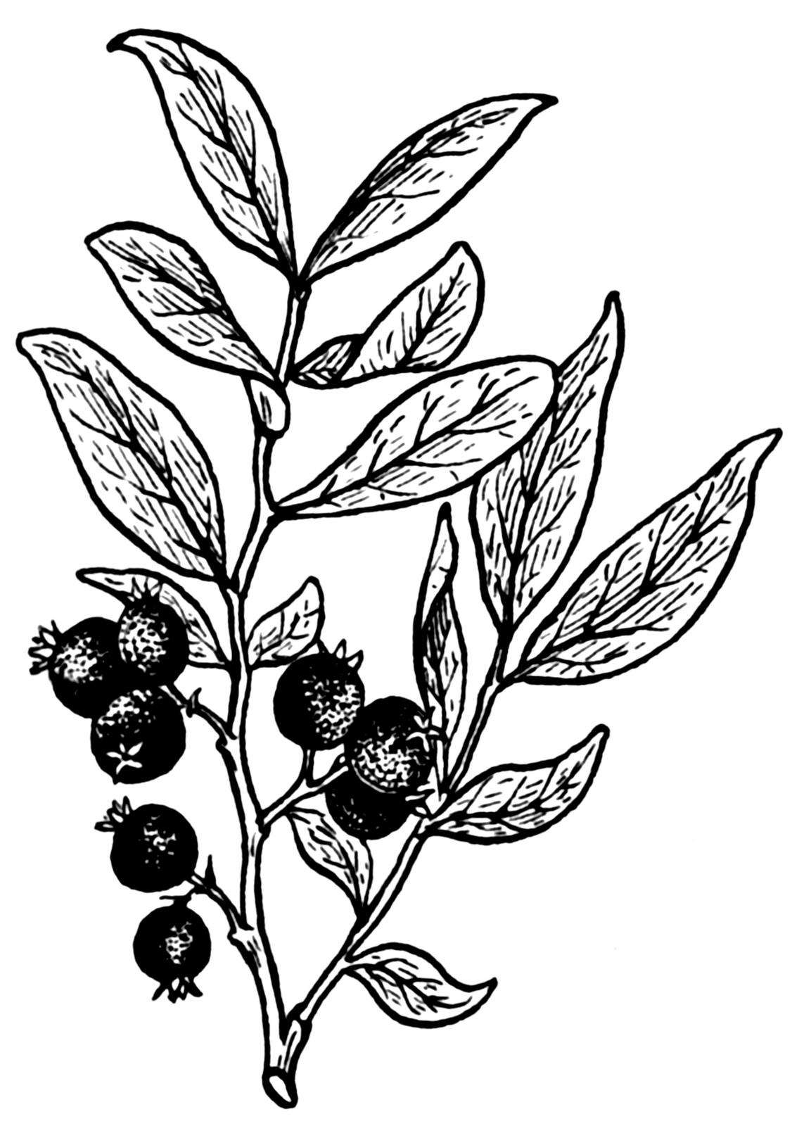 1153x1600 Drawn Berry