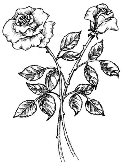 400x528 Drawn Rose Bush Detail Drawing