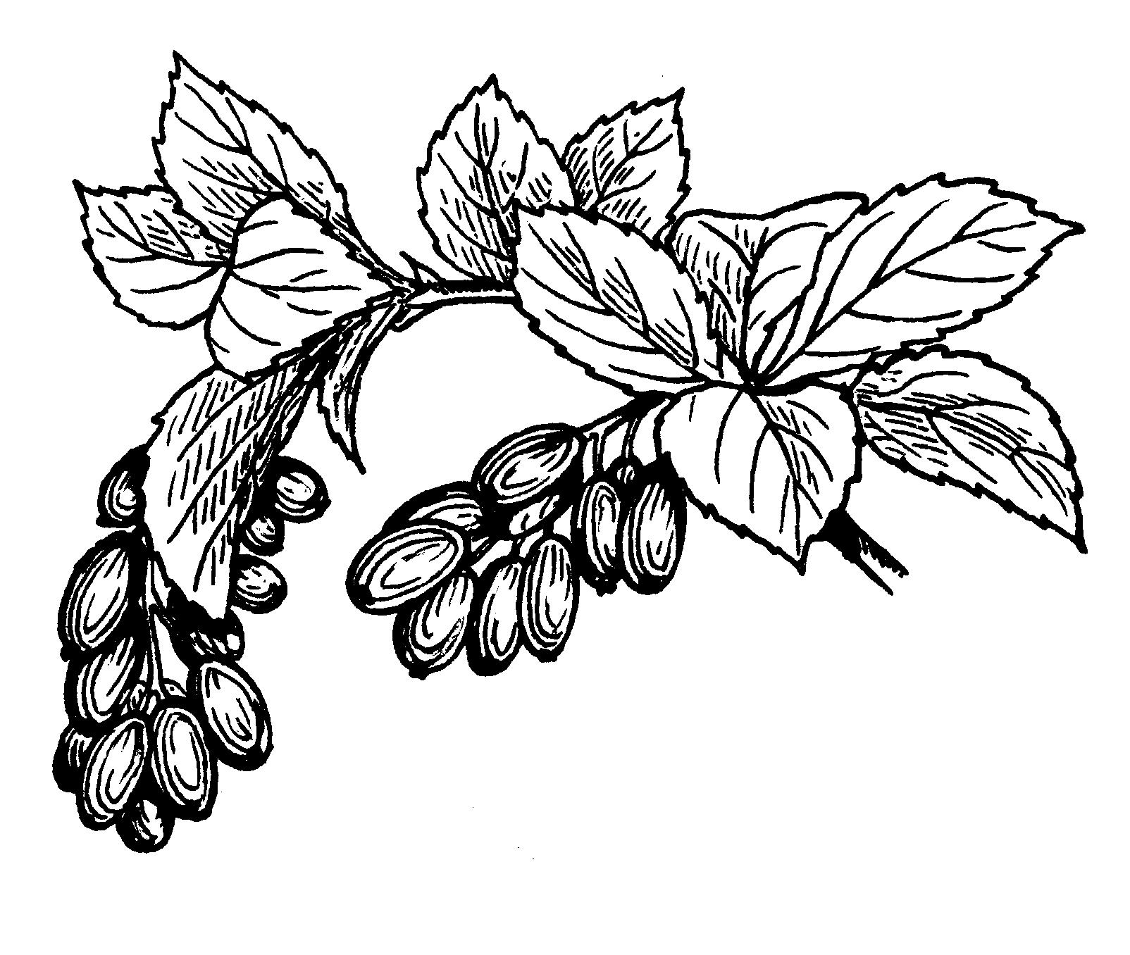1604x1356 Fruit Drawings Clip Art