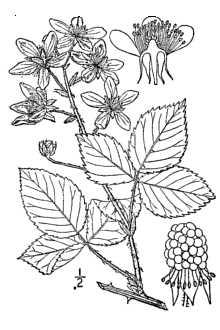 220x330 Plants Profile For Rubus Argutus (Sawtooth Blackberry)