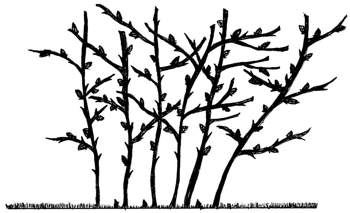 1200x729 Pruning Erect Blackberries In The Home Garden Ohioline