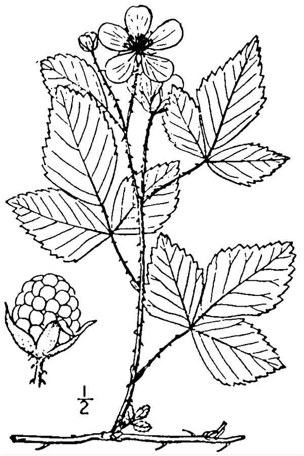 600x900 Rubus (Raspberries, Blackberries, Dewberries Amp Others)