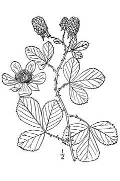 240x360 Rubus Cuneifolius Sand Blackberry Pfaf Plant Database