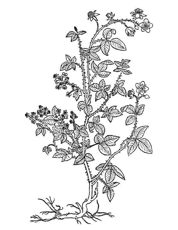 612x792 Blackberry Bush Drawing Info