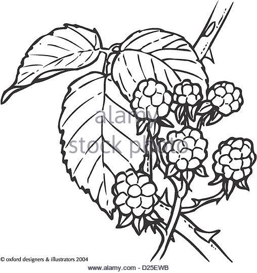 508x540 Blackberry Fruit Black And White Stock Photos Amp Images