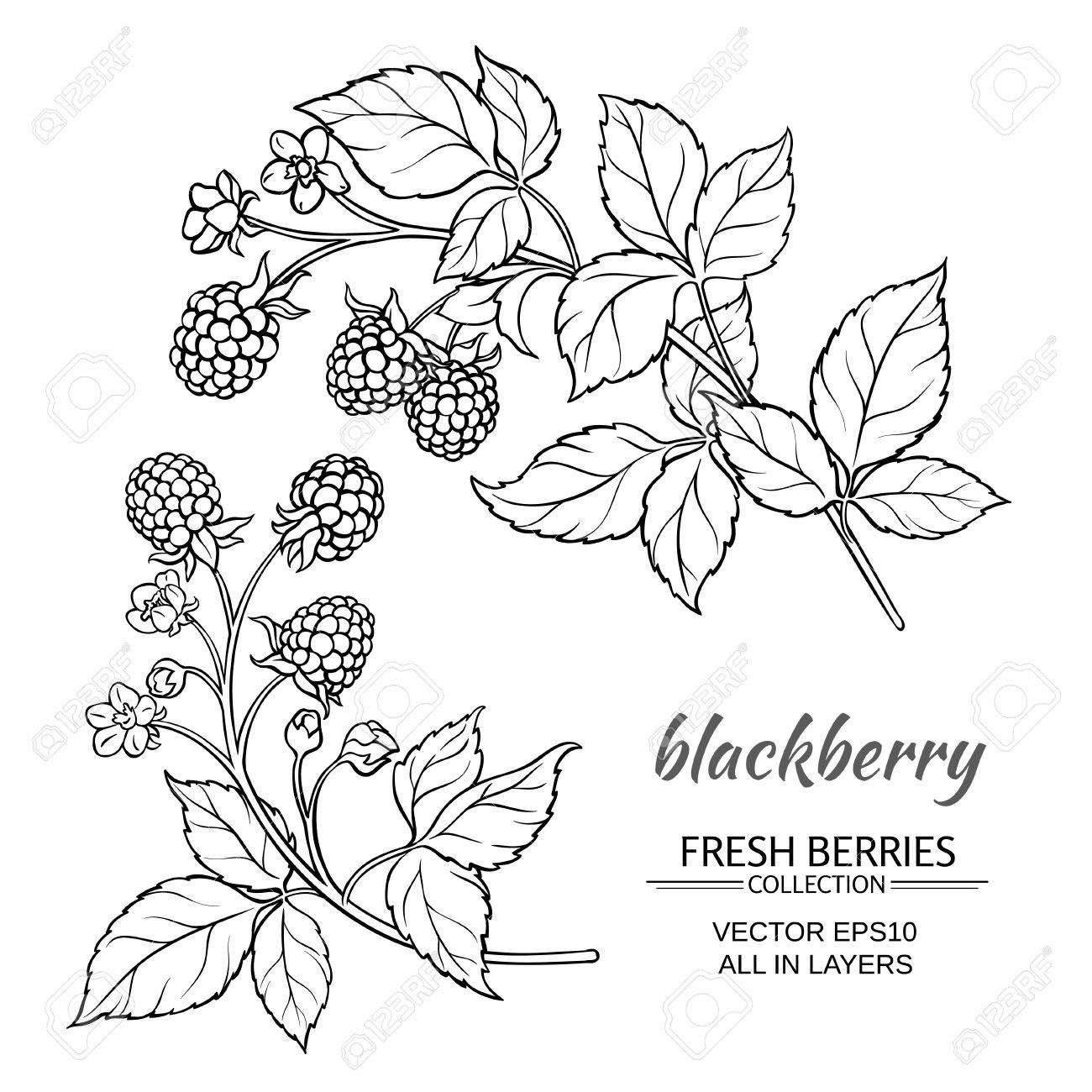 1300x1300 Blackberry Plant Vector Set On White Background Royalty Free