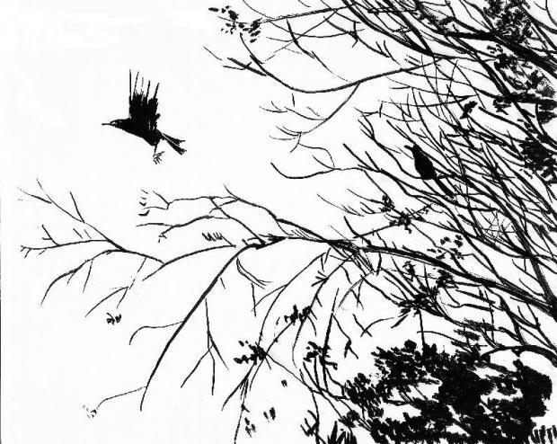620x494 Drawing Black Birds Art Blackbird Flight Art, Blackbird, Flight