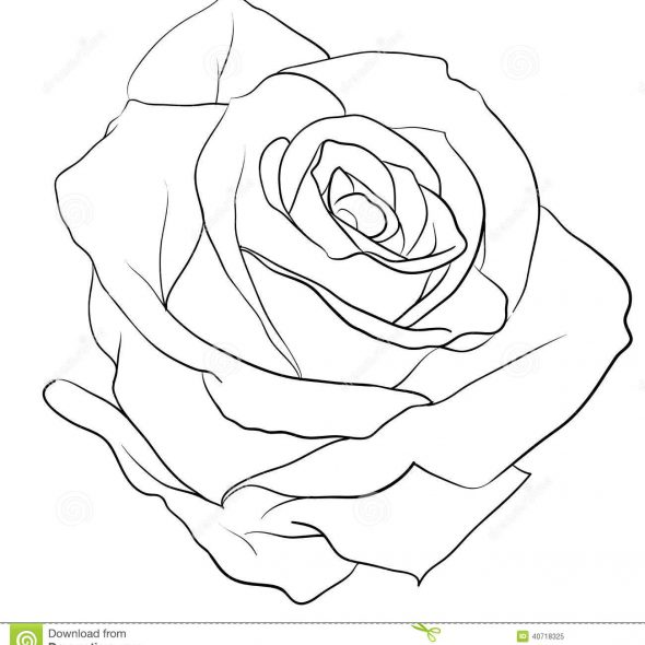 590x590 Rose Pencil Sketch 4 Rose Drawings, Sketches And Draw